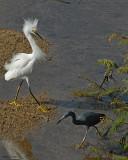 20080223 Snowy Egret, LB Heron - Mexico 1 495.jpg