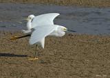 20080225 Snowy Egrets - Mexico 2 040.jpg