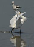 20080228 Snowy Egret - Mexico 3 029.jpg