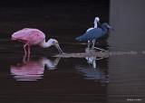 20080228 Roseate Spoonbill, Snowy Egret, LB Heron - Mexico 3 244.jpg