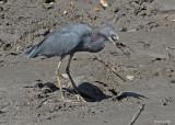 20080228 LB Heron - Mexico 3 048.jpg