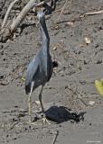 20080228 LB Heron - Mexico 3 051.jpg