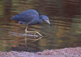 20080228 LB Heron - Mexico 3 151.jpg