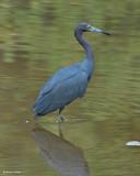 20080228 LB Heron - Mexico 3 608.jpg