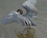 20080228 Reddish Egret - Mexico 3 317 SERIES.jpg