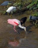 20080223 R Spoonbill, LB Herons, Snowy Egret, W-f Ibis.jpg