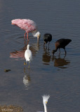 20080223 Snowy Egrets and Friends (W-f Ibises, Roseate Spoonbill) - Mexico 1 491.jpg