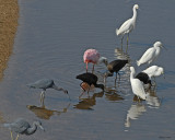 20080223 Snowy Egrets and Friends (LB Heron,Roseate Spoonbill, W-f Ibises) Mexico 1 500.jpg
