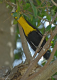 20080228  Yellow-winged Cacique - Mexico 3 765.jpg