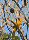 20080223 Hooded Oriole (male) - Mexico 1 187.jpg
