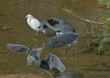 20080223 Little Blue Herons - Mexico 1 542.jpg