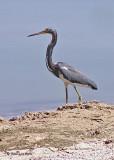 20080309 012 Tricolor Heron - Mexico.jpg