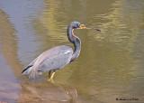 20080309 017 Tricolor Heron - Mexico.jpg