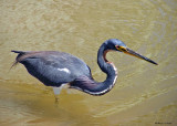 20080309 023 Tricolor Heron - Mexico.jpg