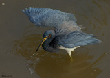 20080228  SERIES - Tricolor Heron - Mexico 3 333 SERIES.jpg