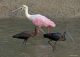 20080228 Roseate Spoonbill, White-faced Ibises - Mexico 3 270.jpg