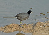 20080228 American Coot _ Mexico 3 662.jpg