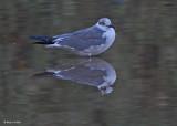 20080228 Franklin's Gull - Mexico 3 140.jpg