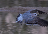 20080228 Franklin's Gull - Mexico 3 224.jpg