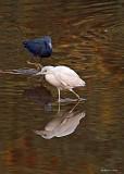 20080228 LB Herons (adult = Blue, Imm = white) - Mexico 3 131.jpg