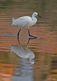 20080228 Snowy Egret - Mexico 3 213.jpg