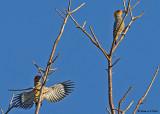 20080225 Golden-cheeked Woodpecker - Mexico 2 119.jpg
