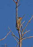 20080225 Golden-cheeked Woodpecker - Mexico 2 125.jpg