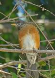20080223 Rufous-backed Thrush (Robin) - Mexico 1 100.jpg