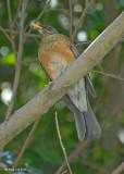 20080228 Rufous-backed Thrush (Robin) - Mexico 3 793.jpg