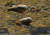 20080228 White Ibis (Juv) - Mexico 3 522 xxx.jpg
