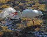 20080228 White Ibis (adult) - Mexico 3 789 xxx.jpg