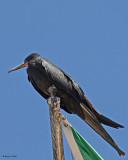 20080223  Mag Frigatebird (male) - Mexico 1.jpg