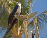 20080223 Mag Frigatebird (female) - Mexico 1 403.jpg