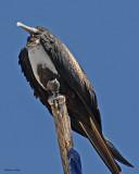 20080223 Mag Frigatebird (female)- Mexico 1 394.jpg
