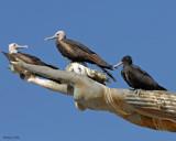20080223 Mag Frigatebirds - Mexico 1 398.jpg