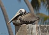 20080223 Br Pelican - Mexico.jpg