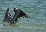 20080223 Brown Pelican -  Mexico 1 032.jpg