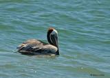 20080223 Brown Pelican - Mexico 1 029.jpg