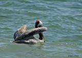 20080223 Brown Pelican - Mexico 1 030.jpg