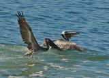 20080223 Brown Pelicans Mexico 1 214.jpg