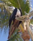 20080223 Magnificent Frigatebird (female) - Mexico 1 410.jpg