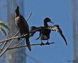 20080223 Neotropic Cormorants (Mexico) 1 269.jpg
