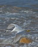 20080223 Snowy Egret (Mexico) 1 280.jpg