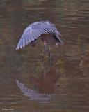 20080228 Reddish Egret - Mexico 3 123.jpg