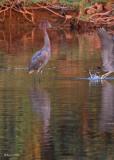 20080228 Reddish Egret - Mexico 3 153.jpg
