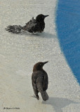 20080223 Great-tailed Grackle (Mexico) 1 419.jpg