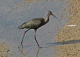 20080223 White-faced Ibis (Mexico) 1 531 xxx.jpg