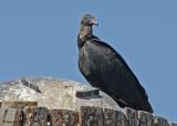 20080225 Black Vulture - Mexico 2 214.jpg