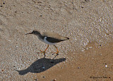 20080223 Spotted Sandpiper -  Mexico 1 258.jpg