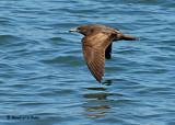 20080223 Pink-footed Shearwater -  Mexico 1 317.jpg